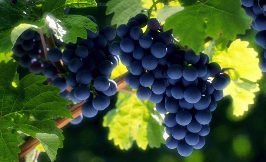 Виноград-3