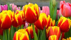тюльпаны-3